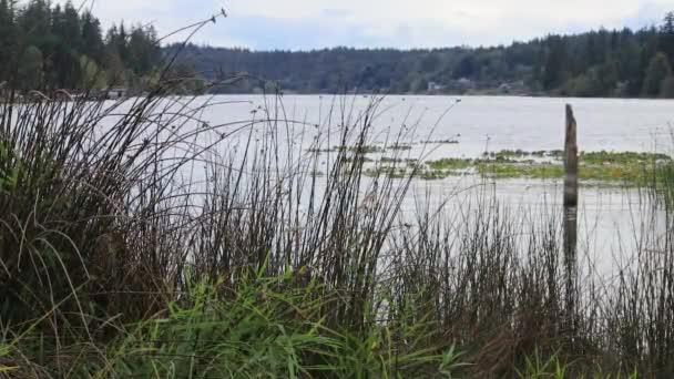mlhavý letní den u jezera s zelené rákosí a trav vlající ve větru