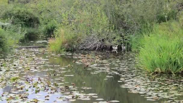vánek vanoucí vysoká tráva, skrývající dvojice bílých kachen