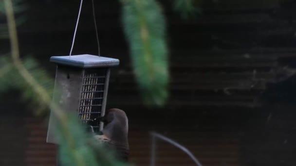 női lebegés harkály nyáron lógó feeder-ból eszik
