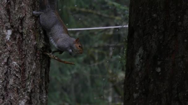 szürke mókus lógott fejjel lefelé kiegyensúlyozó egy kis ág eső