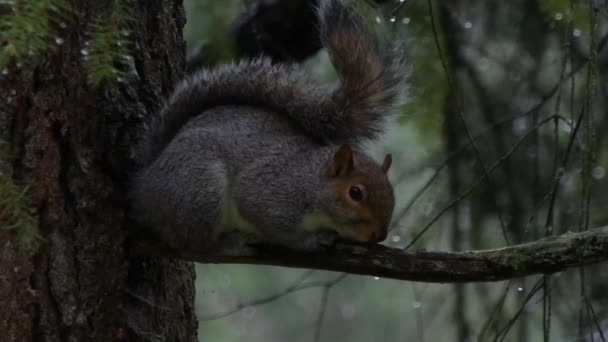 squirrel in rain storm hugging branch and hiding under fluffy tail