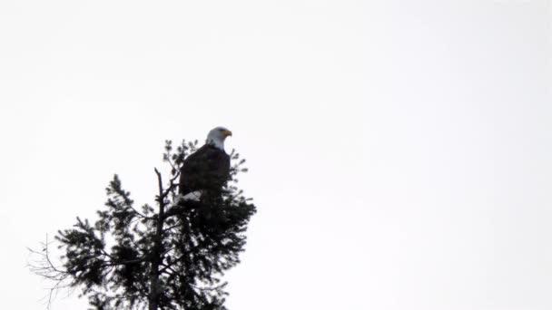 kopasz sas ül a tetején a fa nézett körül