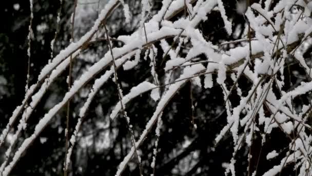 sněhová bouře v zimě na pláči třešňového stromu