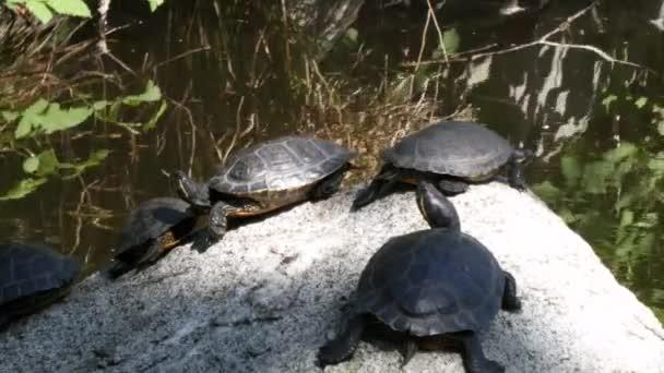 egy csoport a kis teknősök ül egy sziklán nézett körül van a környéken egy tó