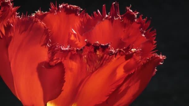 springtime oriental poppy in spring against simple background