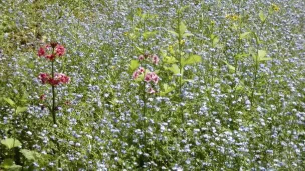 Rudé květiny vyrůstající z velké bandy modrých květů