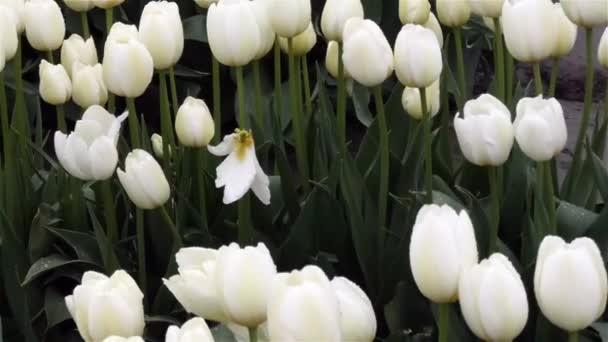jasně bílé tulipány rostoucí na deštivé farmě