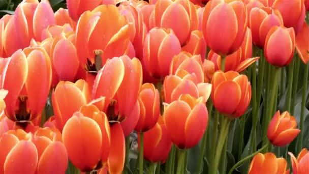 řádky obdělávaných červených a žlutých tulipánů