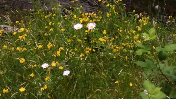 bílá shasta dasies a žluté divoké květy