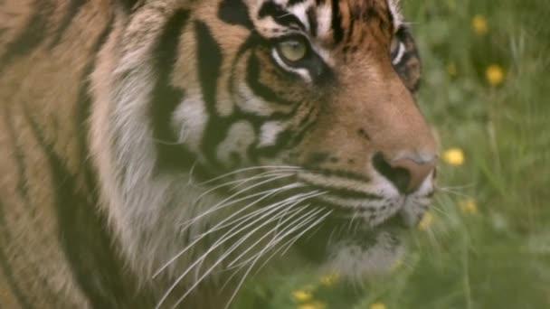 tigris elmosódott mögött füvek üvöltenek