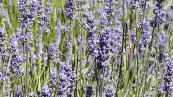 Nahaufnahme von Lavendelblüten, die sich im Wind bewegen