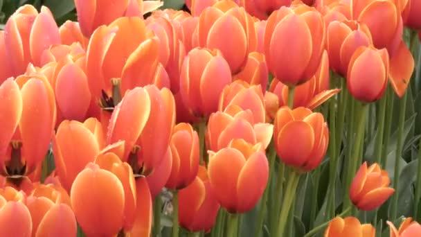 červené a žluté okvětní lístky tulipánů v plném květu