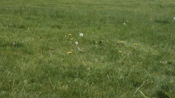 ein einziger Löwenzahn wiegt sich im Wind auf grünem Rasen