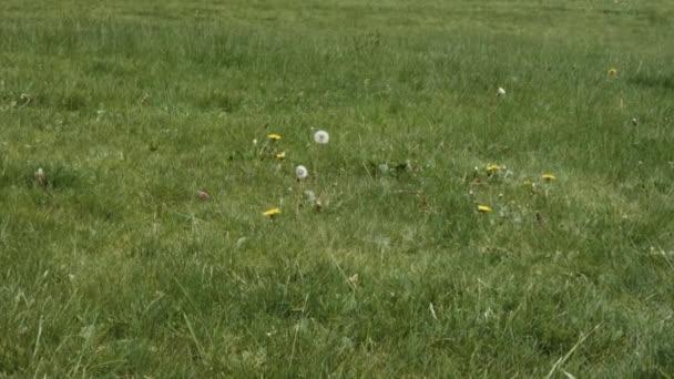 Langsames Zoom auf Löwenzahn, der sich im Rasen wiegt