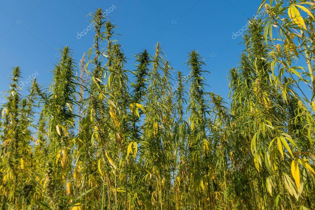 Field of green cannabis (marijuana) plants
