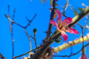 Pink flower of the Silk floss tree (Ceiba speciosa, formerly Chorisia speciosa)