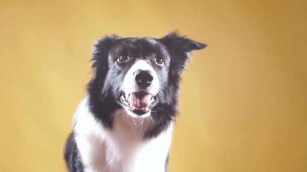 Hodný roztomilý chytrý pes pózuje pro kameru
