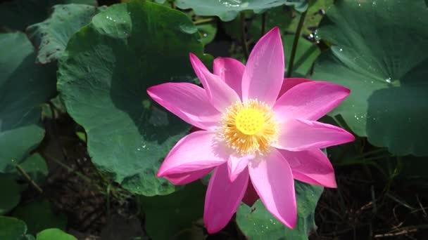 Svěží růžové Lotosový květ. Licencovaní vysoce kvalitní bezplatné stopáže krásné růžové lotosového květu. Na pozadí je růžové lotosové květy a žluté lotus bud v rybníku. Mírové scény v přírodě