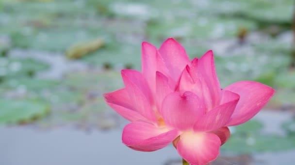 Fleur Lotus Rose Frais Redevance Haute Qualite Gratuit Video Stock