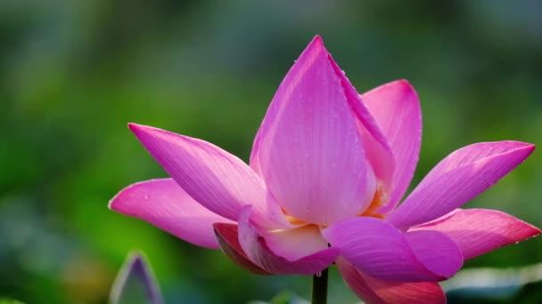 Friss rózsaszín lótuszvirág. Közeli fókusz egy gyönyörű rózsaszín lótuszvirág másol hely a szöveg vagy a hirdetés. A háttér és a rózsaszín virágok sárga lótusz bud a tóban