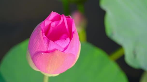 Friss rózsaszín lótuszvirág. Jogdíj minőségi ingyenes stock felvételek egy gyönyörű rózsaszín lótuszvirág. A háttérben pedig a rózsaszín virágok sárga lótusz bud a tóban. Béke jelenet egy vidéken