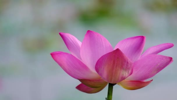 Fresh pink lotus flower. Royalty high quality free stock footage of a beautiful pink lotus flower. The background is the pink lotus flowers and yellow lotus bud in a pond. Peace scene in a countryside