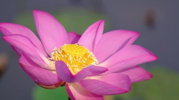 Růžový lotos flower s včelí med. Úzké zaměření krásné růžové lotosového květu se včely med od pestík. Na pozadí je Růžový lotos květy, zelené listy a žluté lotus bud v rybníku