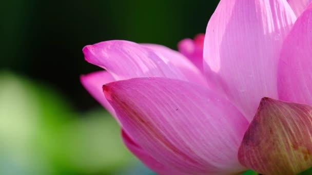 Friss rózsaszín lótuszvirág. Jogdíj kiváló minőségű ingyenes stock felvételek egy gyönyörű rózsaszín lótuszvirág. A háttérben pedig a rózsaszín virágok sárga lótusz bud a tóban. Béke jelenet egy vidéken
