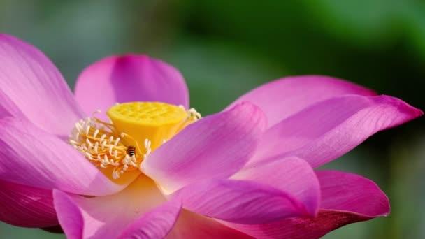 Rózsaszín lótuszvirág a mézelő méh. Közeli fókusz, egy gyönyörű rózsaszín lótuszvirág a méh a bibe a közös jogkezelő méz. A háttérben egy pink lotus virágok, zöld levél és sárga lótusz bud a tóban
