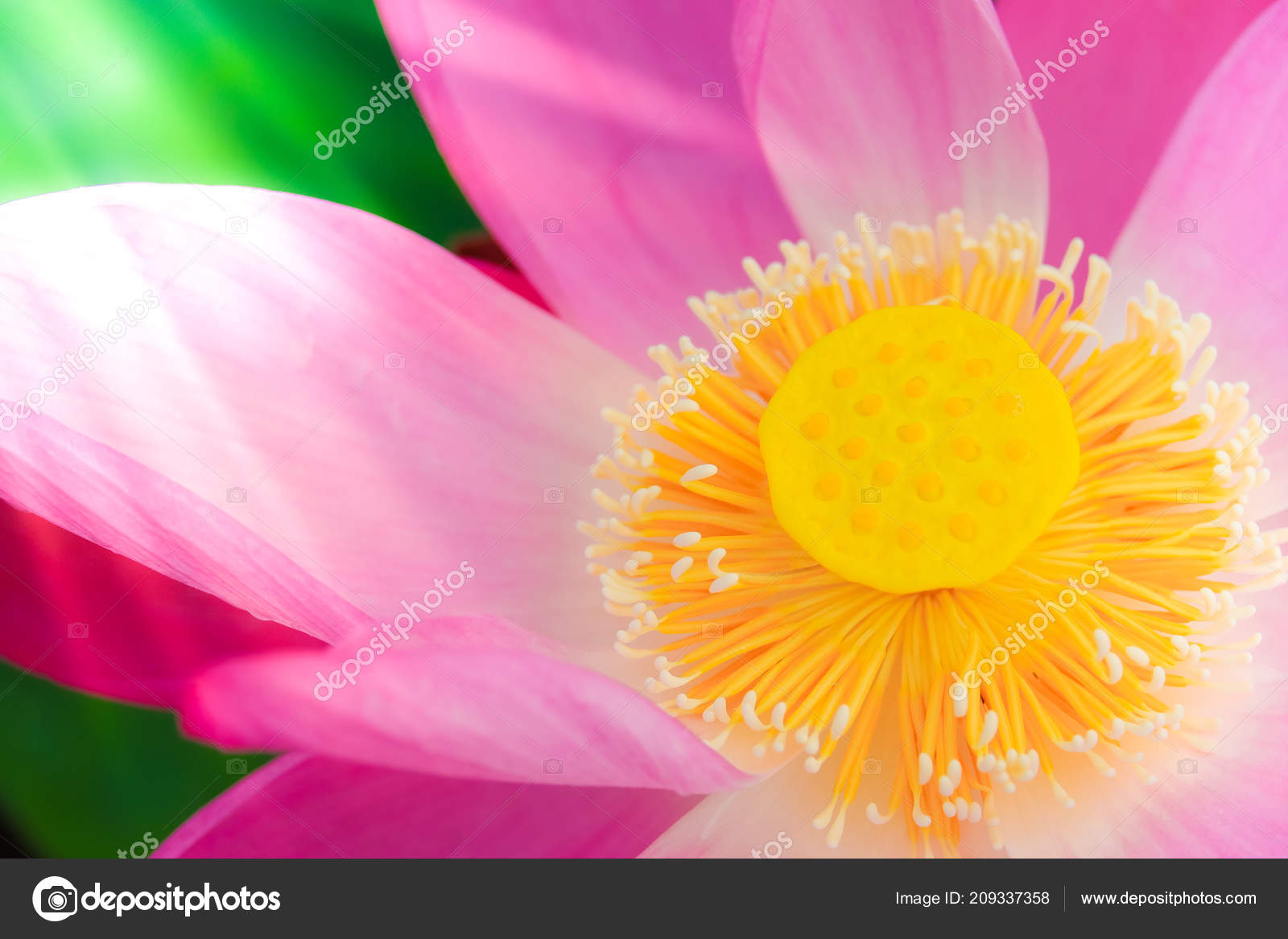 Fresh Pink Lotus Flower Close Focus Beautiful Pink Lotus Flower
