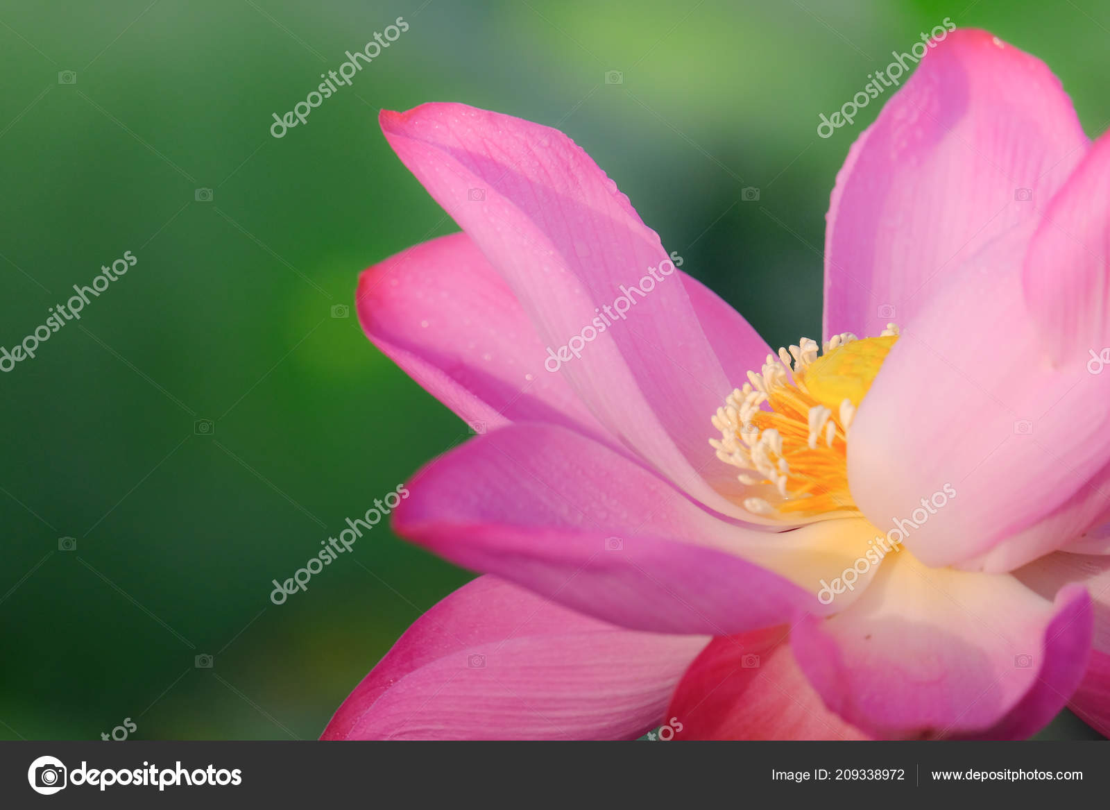Fresh Pink Lotus Flower Royalty High Quality Free Stock Image