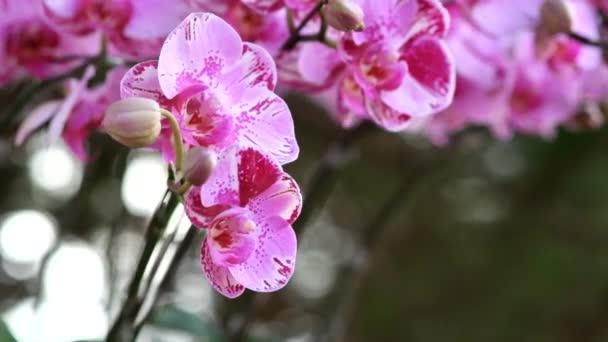 Krásný růžový květ orchideje (Phalaenopsis). Licencovaní vysoce kvalitní bezplatné stopáže stromu čerstvé růžová orchidej květina je květ v přírodě. Detailní zaměření multi barva tropickou orchidej květina v zahradě