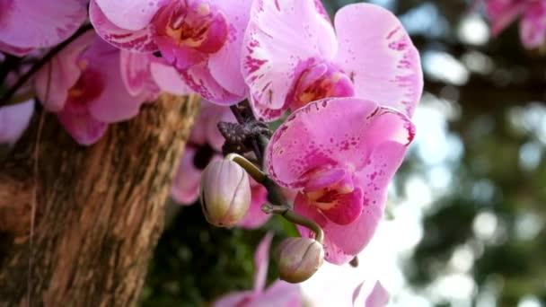 Gyönyörű rózsaszín orchidea virág (Phalaenopsis). Jogdíj kiváló minőségű ingyenes stock felvételeket friss rózsaszín orchidea virág fa is virágzik a természet. Vértes fókusz multi színes trópusi orchidea virágot a kertben