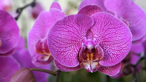 schöne rosa Orchideenblüte (phalaenopsis). Lizenzgebühren hohe Qualität kostenlos Stock Footage von frisch rosa Orchidee Blume Baum ist in der Natur blühen. Nahaufnahme Fokus mehrfarbige tropische Orchideenblume im Garten