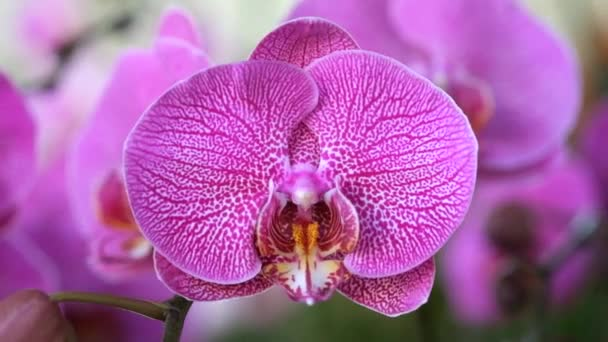 Beautiful pink orchid flower (Phalaenopsis). Royalty high quality free stock footage of fresh pink orchid flower tree is blossom in nature. Closeup focus multi color tropical orchid flower in garden