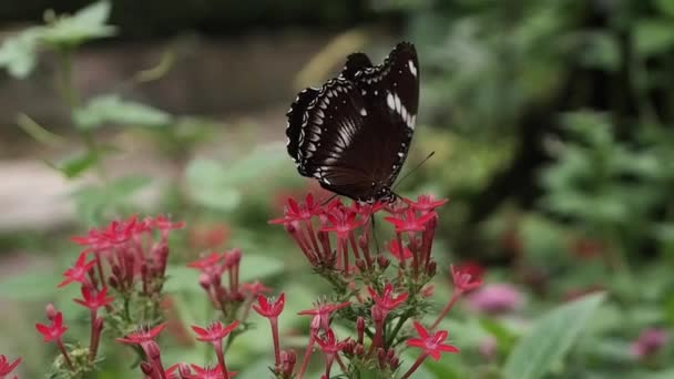 Zpomalené detailní motýla na krásné květiny. Licencovaní vysoce kvalitní bezplatné akcií zpomalené záběry motýl červený vosk, od květin s rozostření pozadí