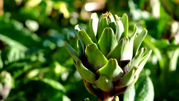 Frissen betakarított articsóka a kertben. Jogdíj minőségi ingyenes stock videofelvétel friss articsókát, napsütés kert. Articsóka zöldségek az egészséges étrend