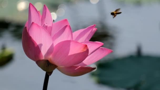 rosa Lotusblume mit Honigbiene. Lizenzgebühren hochwertige Free-Stock-Zeitlupe Video-Aufnahmen aus nächster Nähe schöne rosa Lotusblume mit Biene sammeln Honig aus dem Stempel in der Morgensonne