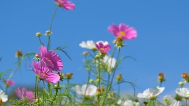 Kosmos blüht Feld im Frühling. Lizenzgebühren hochwertige Free Stock Videoaufnahmen von schönen Garten mit weißen Kosmos Blume und rosa Kosmos Blume in sonnigem Tag und Schwanken im Wind