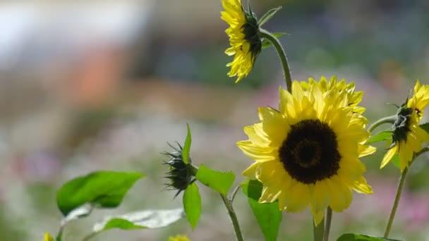 Slunečnice zahrada v sunshine a slunečný den pozadí. Licencovaní vysoce kvalitní bezplatné video stopáže slunečnicového pole kvetoucí zahradě. Slunečnice květ textury a pozadí pro návrháře