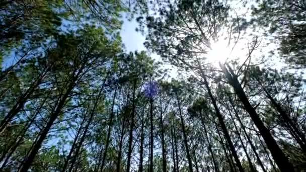 Zobrazení nahoru nebo dole borovic v lese na slunci. Licencovaní vysoce kvalitní bezplatné video stopáže scénický výhled velké a vysoké borovice s sluneční světlo v lese při vyhledávání modrá obloha