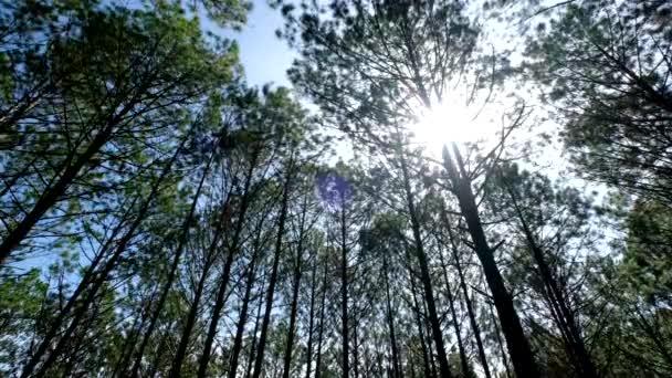 Zobrazení nahoru nebo dole borovic v lese na slunci. Licencovaní vysoce kvalitní bezplatné video stopáže vzhlédl v borovici lesní do kabiny. Svěží zeleň, stromy, slunce horní pohled