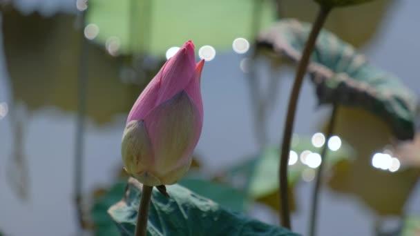 Friss rózsaszín lótuszvirág, vagy tündérrózsa. Közeli fókusz, egy gyönyörű rózsaszín lótuszvirág virágzó. A háttér és a rózsaszín virágok sárga lótusz bud a napsütésben a tó