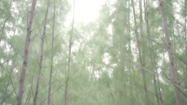Kmeny stromů ve slunném letním borovém lese se stíny a sluneční paprsky.