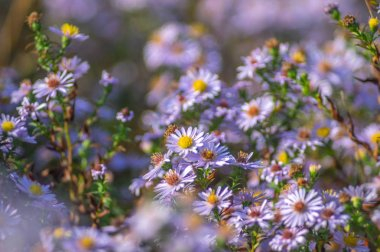 Symphyotrichum novi-belgii flowers closeup