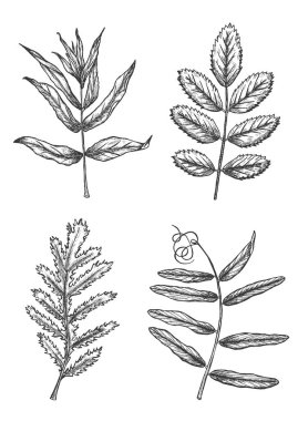 Set of hand drawn sketch leaves. Monochrome design elements of tree and wild plants. Vector illustration isolated on white background