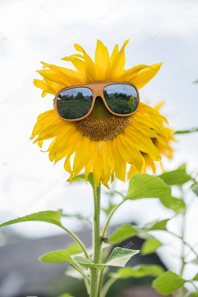 Sunflower with glasses on the field