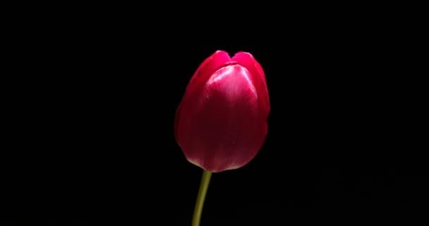 Včasná červená tulipán květ kvetoucí na černém pozadí