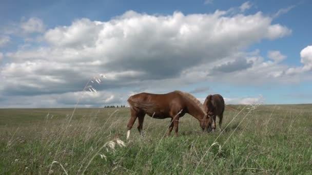 Koně s hříbě se pasou v pole, denní krásné krajiny, pomalý pohyb