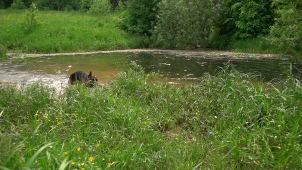 Hund schüttelt Wasser ab, Zeitlupe.